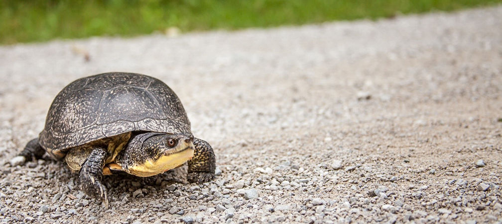 Blanding's turtle, alive on road