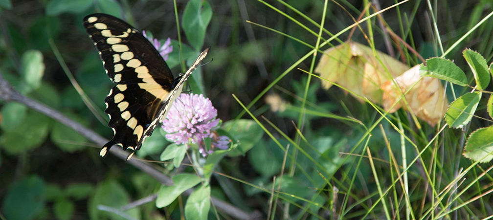Giant Swallowtail Butterfly at Stone Road Alvar Nature Reserve