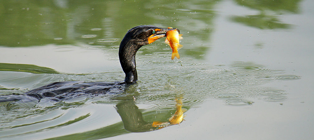 Double-crested cormorant with invasive non-native goldfish