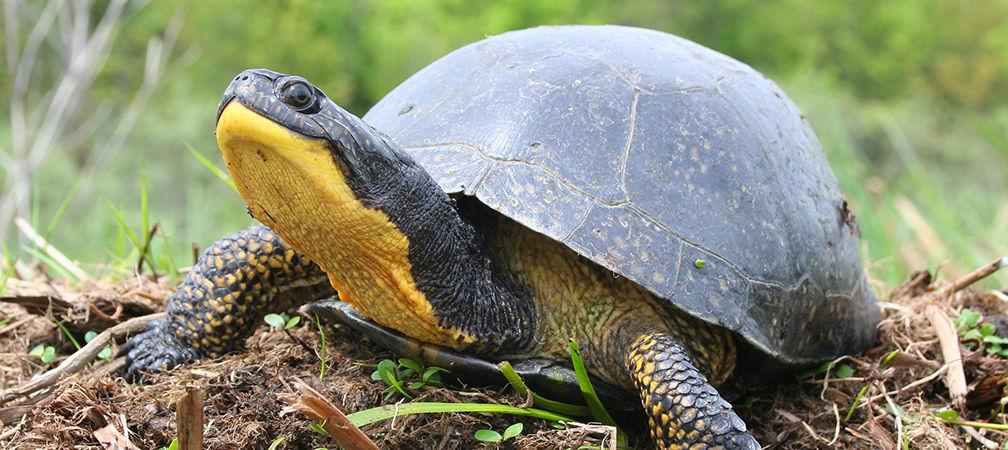 Blanding's turtle, species at risk
