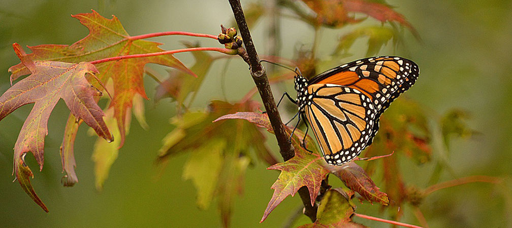 Monarch butterfly on leaves