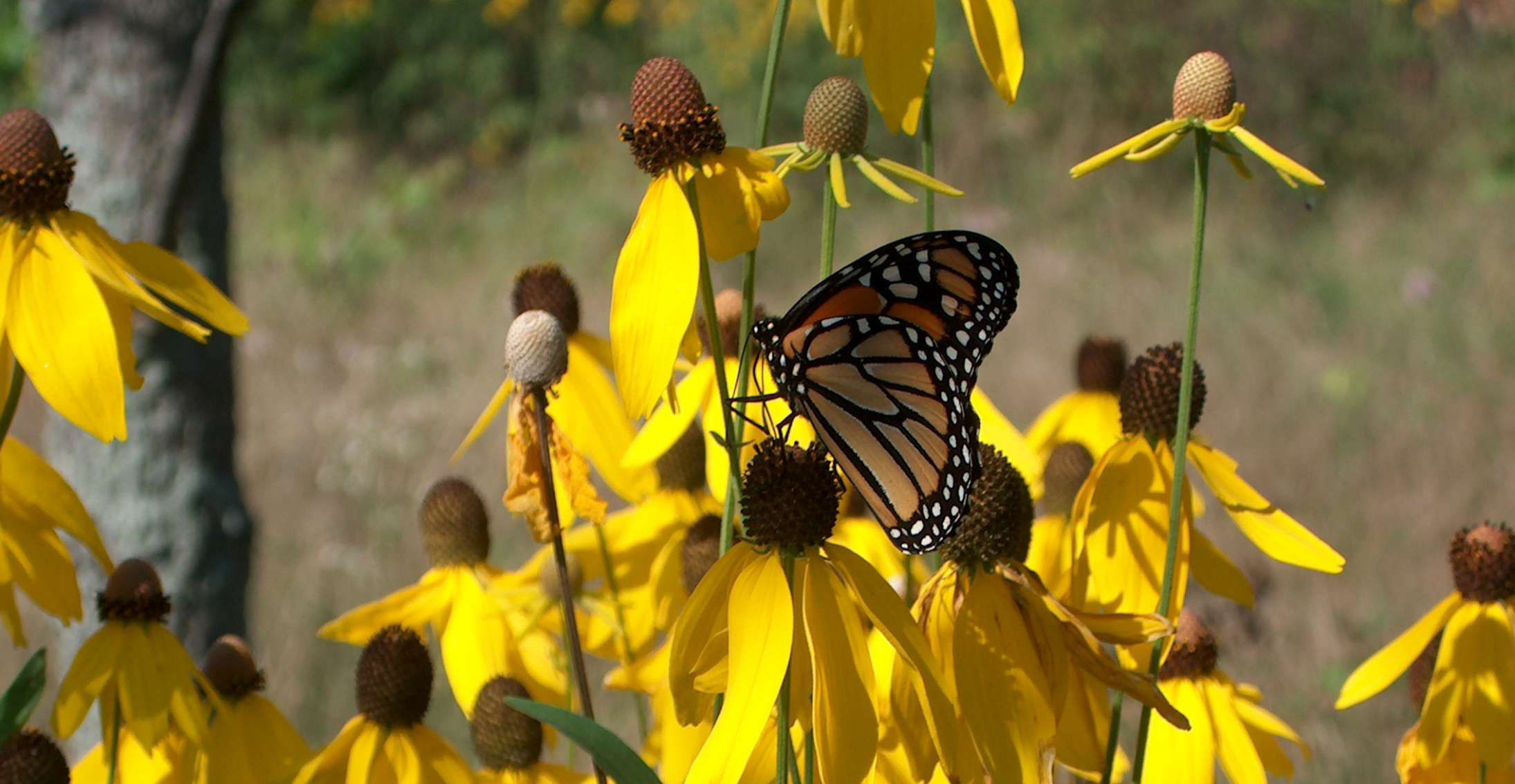 Monarch and coneflowers. Stone Road Alvar Nature Reserve
