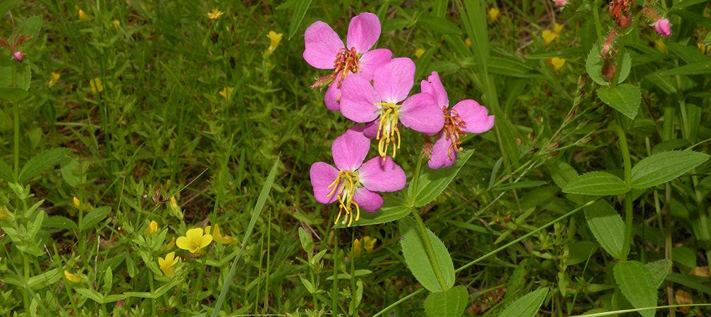 Virginia meadow beauty wildflower