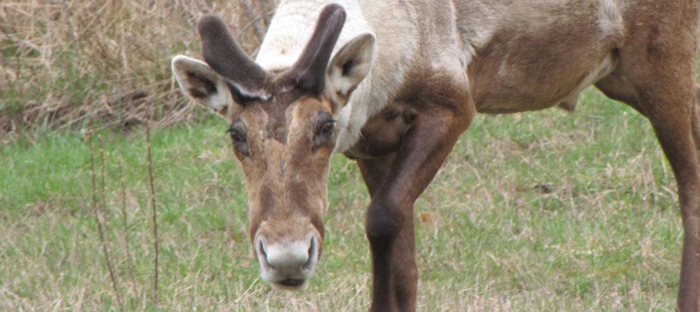 Boreal caribou looking at camera