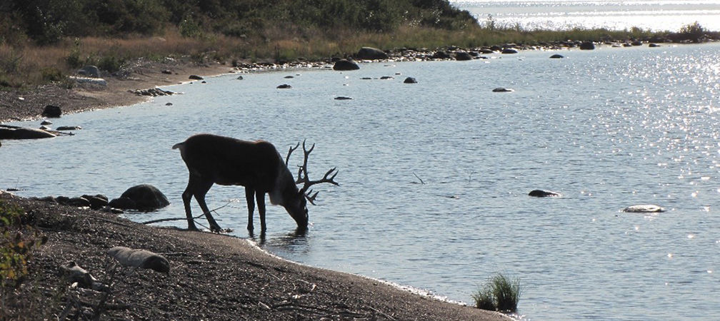 Male caribou drinking from shore