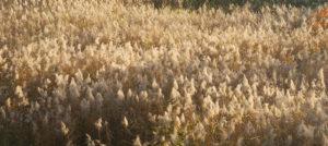 Phragmite australis