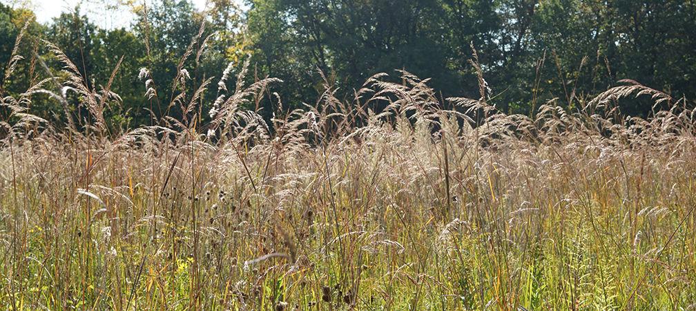 Tallgrass meadow, Sydenham River Nature Reserve