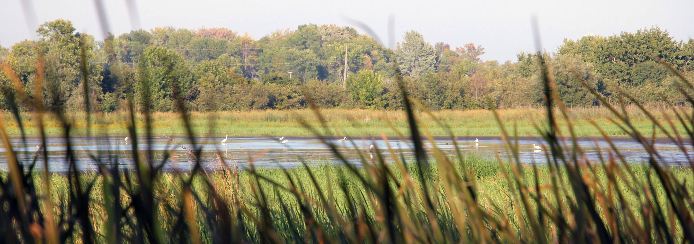 Lynde Shores Conservation Area, coastal wetlands, great blue herons, great egrets, cattails nearby urban area