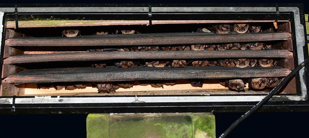 Roosting bats in a bat box