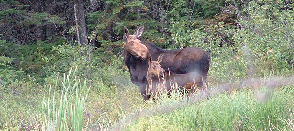 Moose and calf in wetland near forest