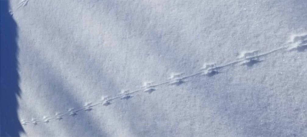 Tail drags of small rodent in Vaughan, Ontario