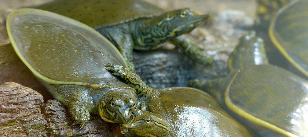 Eastern spiny softshell turtles, Endangered, hatchlings
