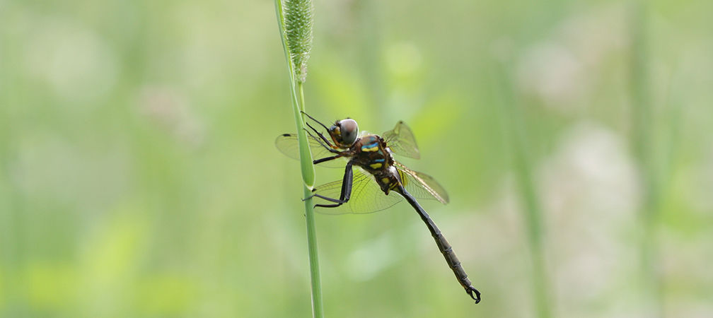 Hine's emerald dragonfly, Endangered
