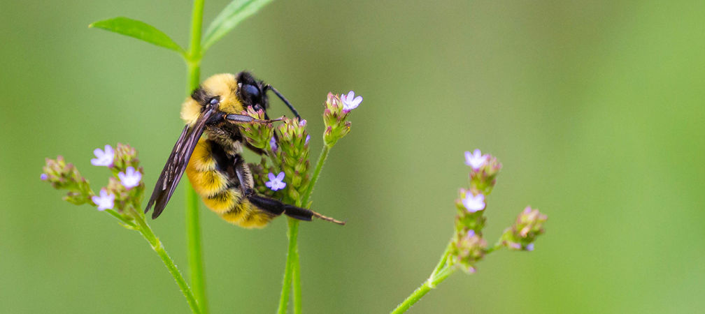 American bumble bee, species at risk
