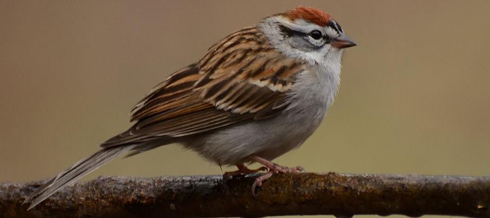 Chipping sparrow, Ojibway Prairie Complex