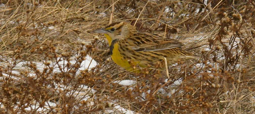 Eastern meadowlark, threatened, species at risk