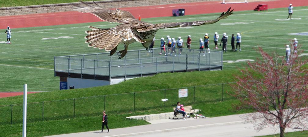 Red-tailed hawk at  Centennial Park flies over a football match
