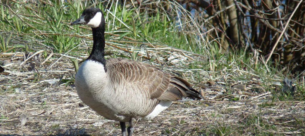 Canada goose, Cootes Paradise