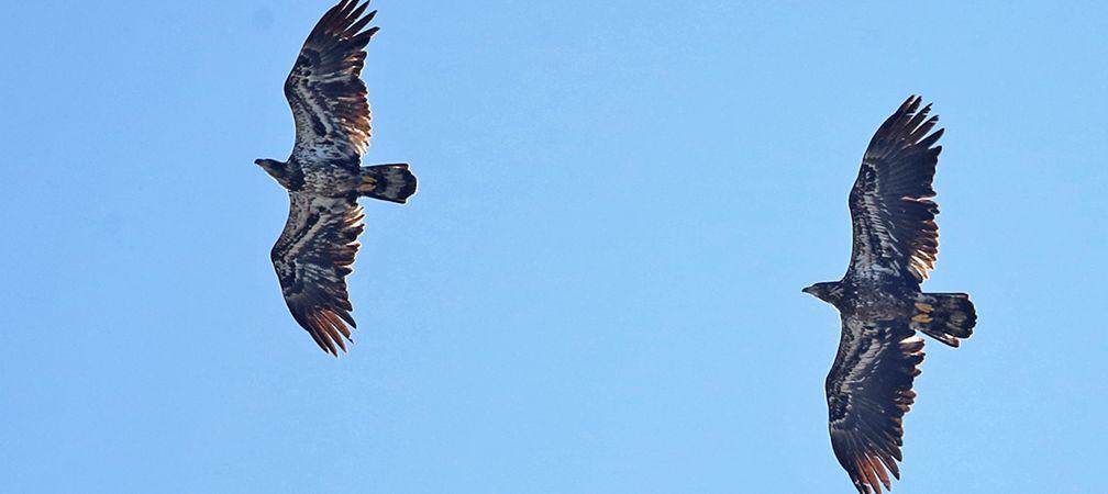Juvenile bald eagles in flight