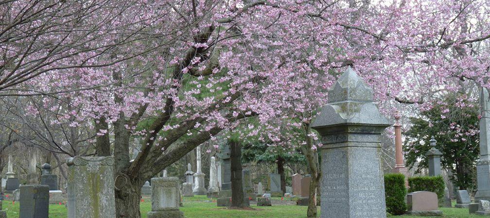 Cherry tree blossoms, Necropolis Cemetary