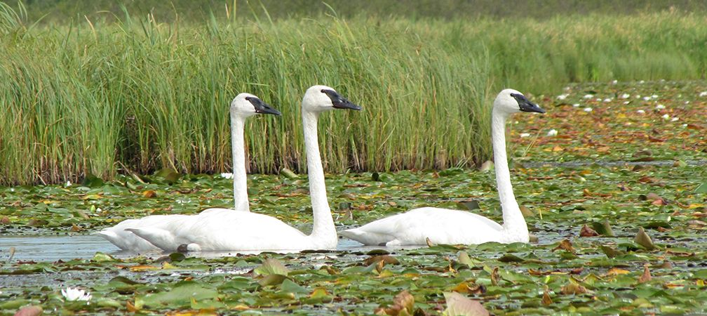 Trumpeter swans and white pond lilies, Nabish Wetlands