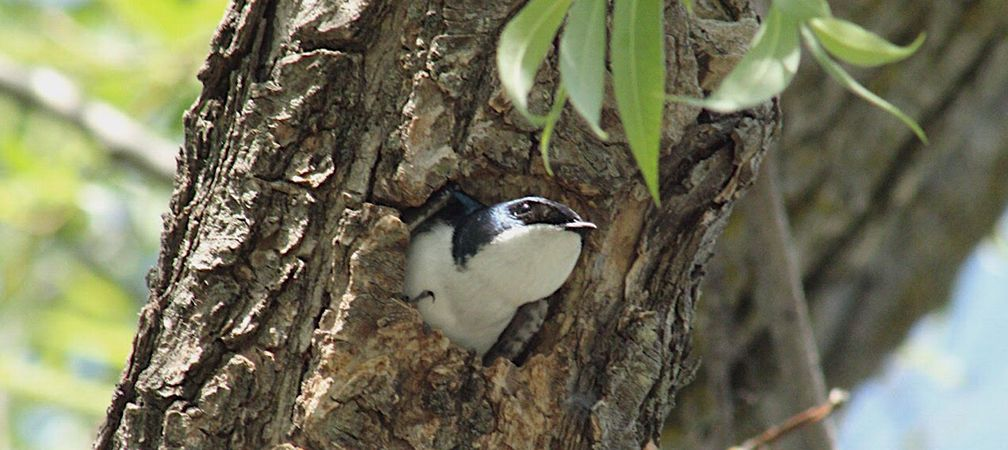 A tree swallow nesting in a willow