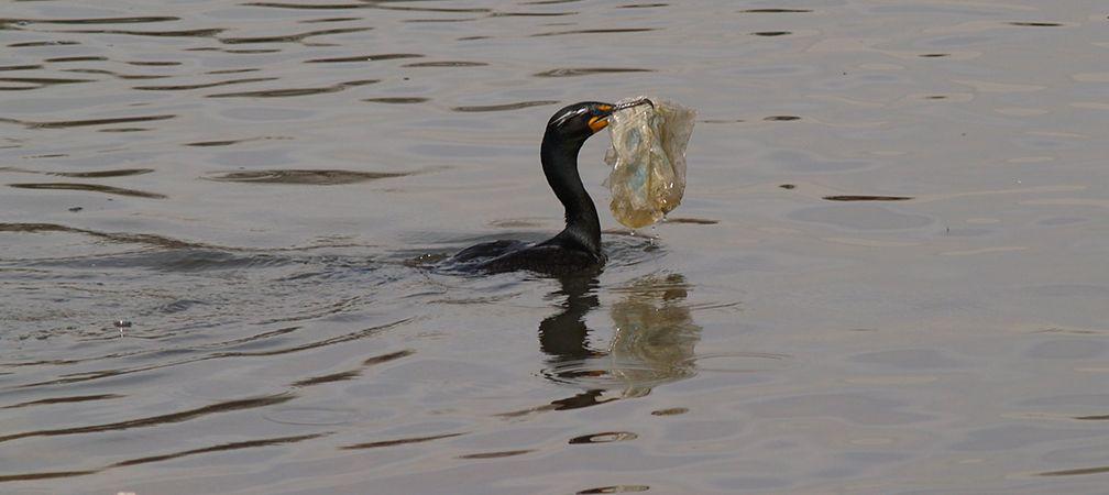 Cormorant with plastic bag