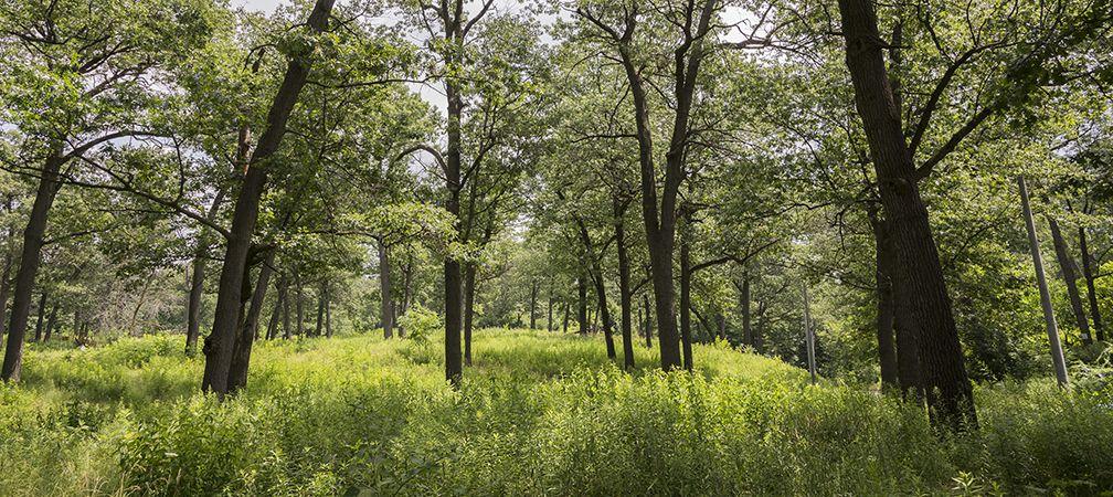 Oak trees in High Park