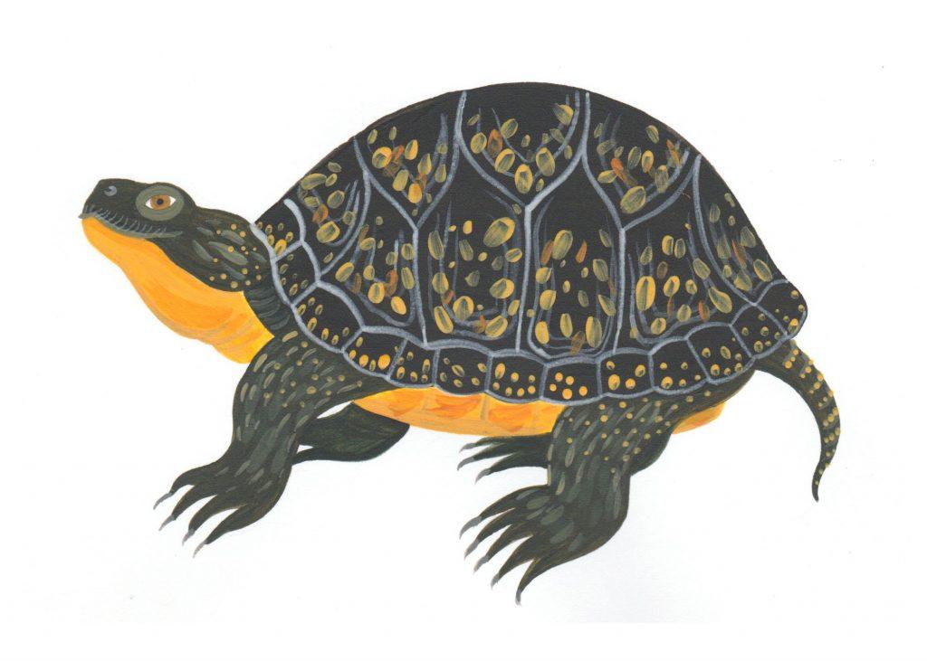 Blanding's turtle illustration