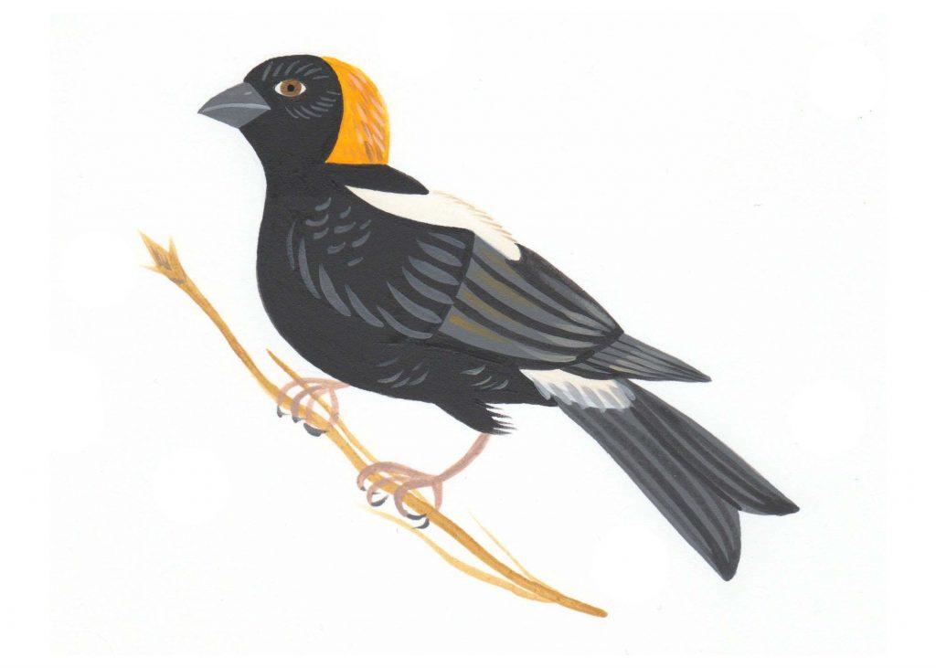 Bobolink illustration
