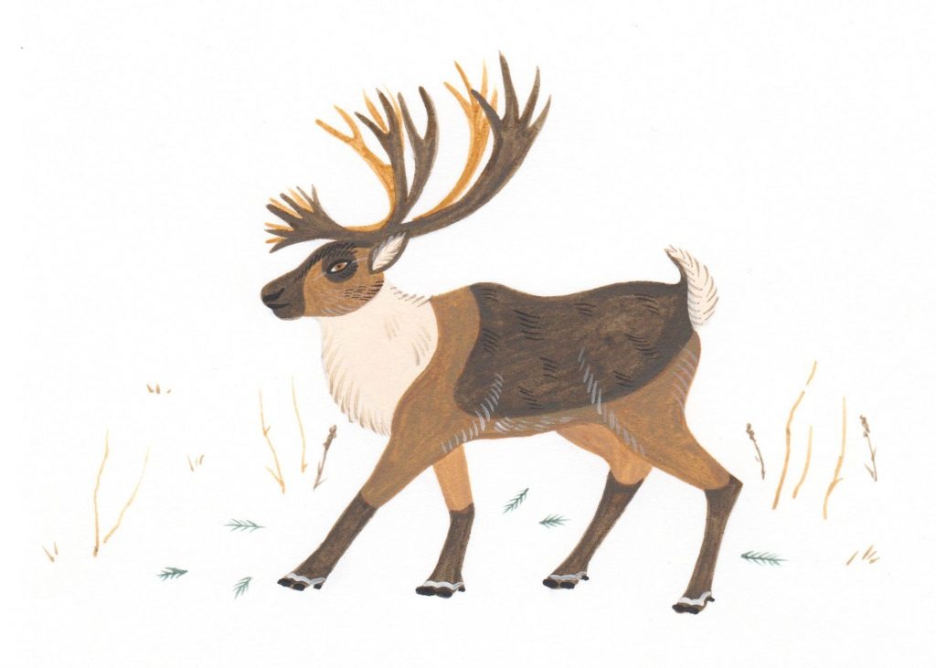 Boreal caribou illustration