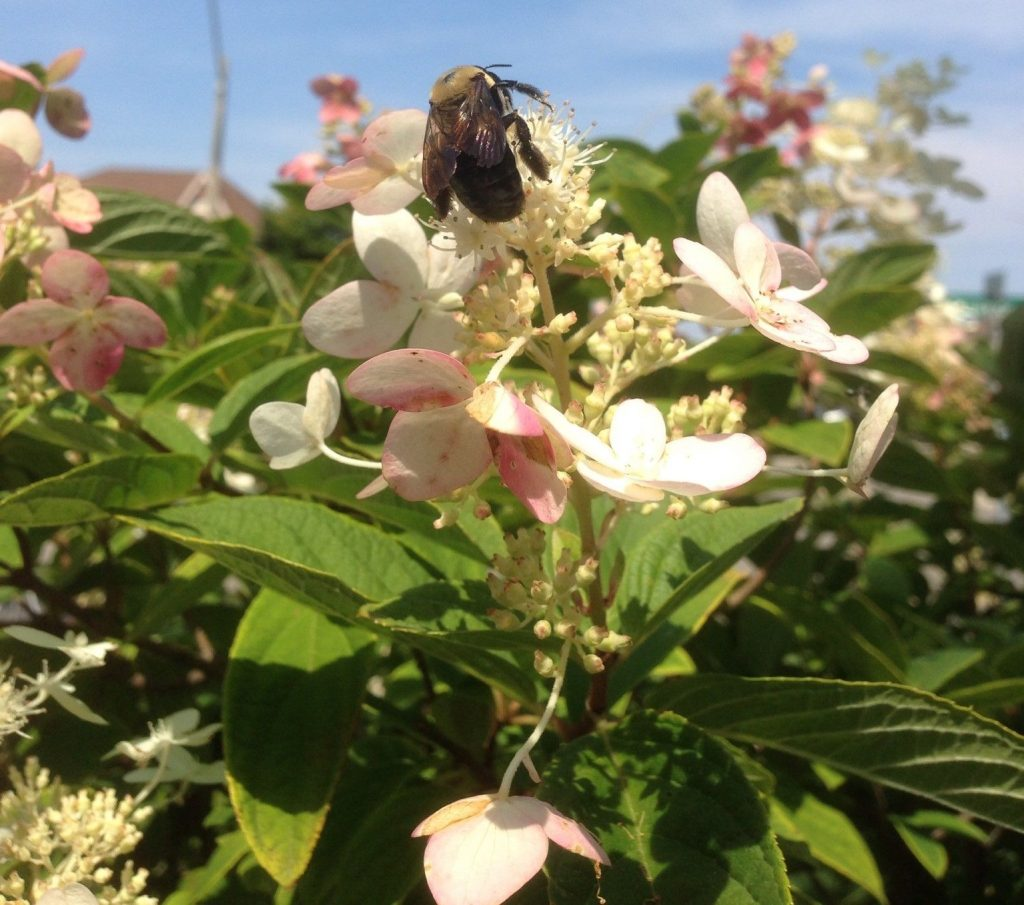 Bumble Bee on a Hydrangea