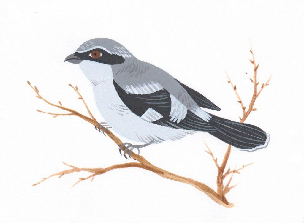 Eastern loggerhead shrike illustration