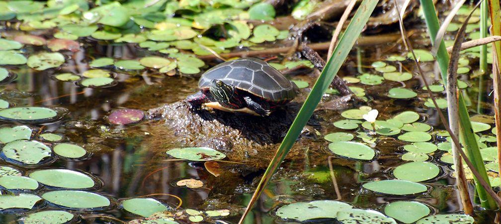 Midland painted turtle, Mer Bleue