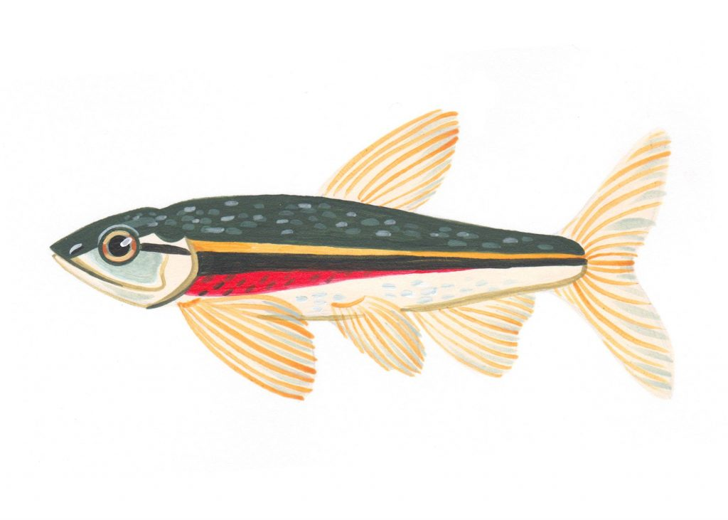 Red-sided dace Illustration