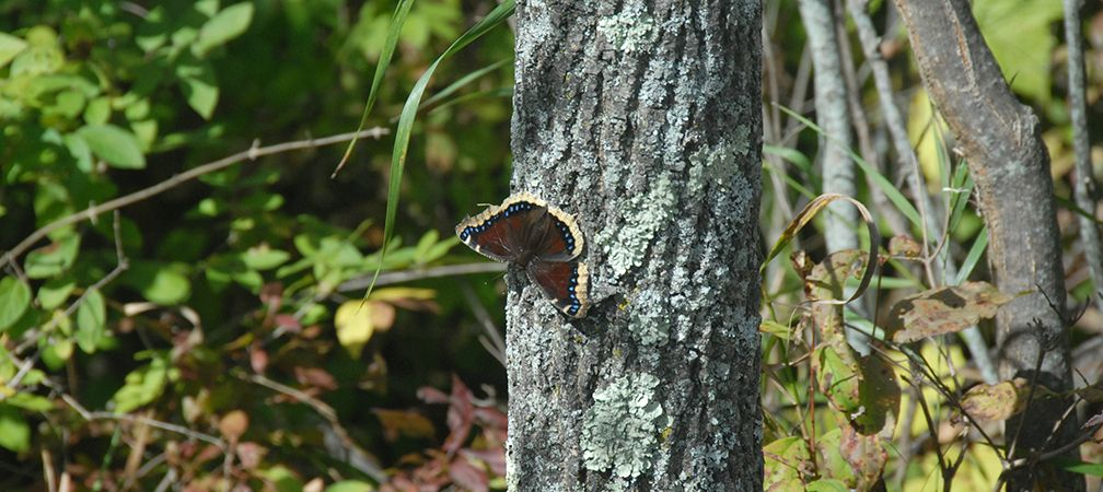 Mourning cloak butterfly at rest on a tree